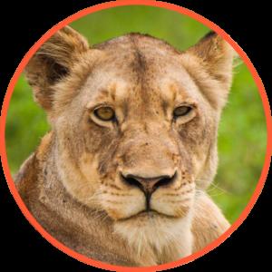 lionne plus grande