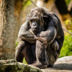 gorille triste